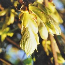 Ainsworths Chestnut Bud...