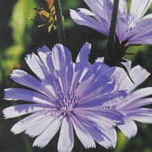 Ainsworths Chicory Bach...