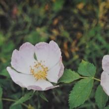 Ainsworths Wild Rose Bach...